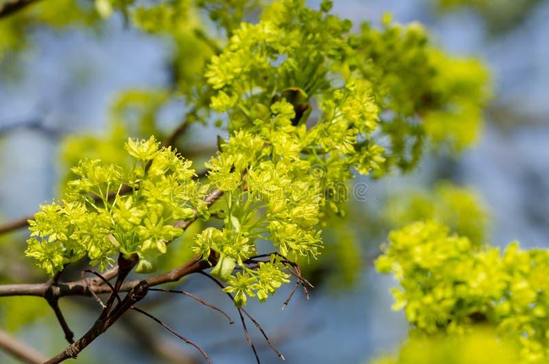 Platanoides d'Acer d'?rable de Norv?ge dans la fleur photos libres de droits