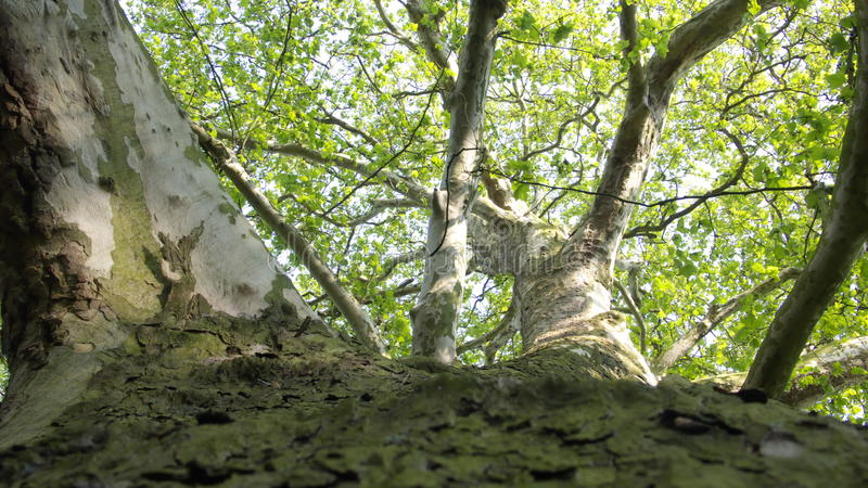 Platanus acerifolia. Huge Plane Sycamore Tree seen in special Frog Perspective, Platanus acerifolia Picture, Photograph, bark, Forest, old american royalty free stock photos