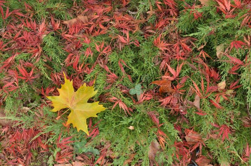 Platanus amarelo e folhas de bordo japonesas vermelhas que encontram-se sobre ramos verdes do zimbro imagem de stock royalty free