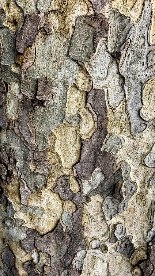 Relief texture of the bark platanus acerifolia Relief texture of a scaly bark. The platanus, a habitat of our gardens, gives us an ideal backdrop to decorate stock photos