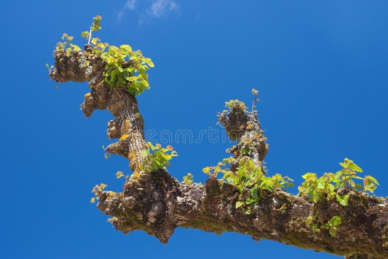 Download Platanus tree stock image. Image of gate, natural, blue - 23163081