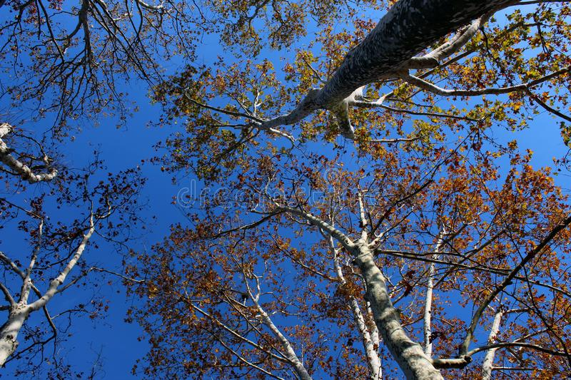 Tree branches seen from below against blue sky in autumn royalty free stock photography