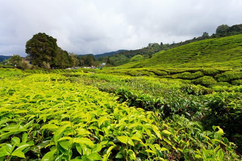 Platation del tè negli altopiani di Cameron fotografia stock libera da diritti
