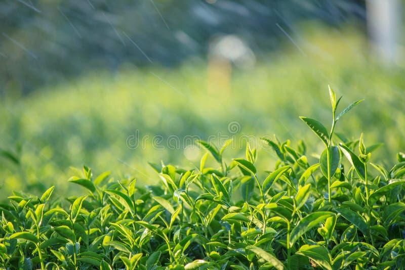 Platation för grönt te fotografering för bildbyråer