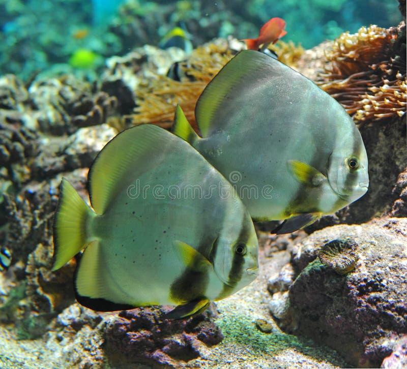 Download Platax orbicularis stock photo. Image of underwater, tank - 14764264