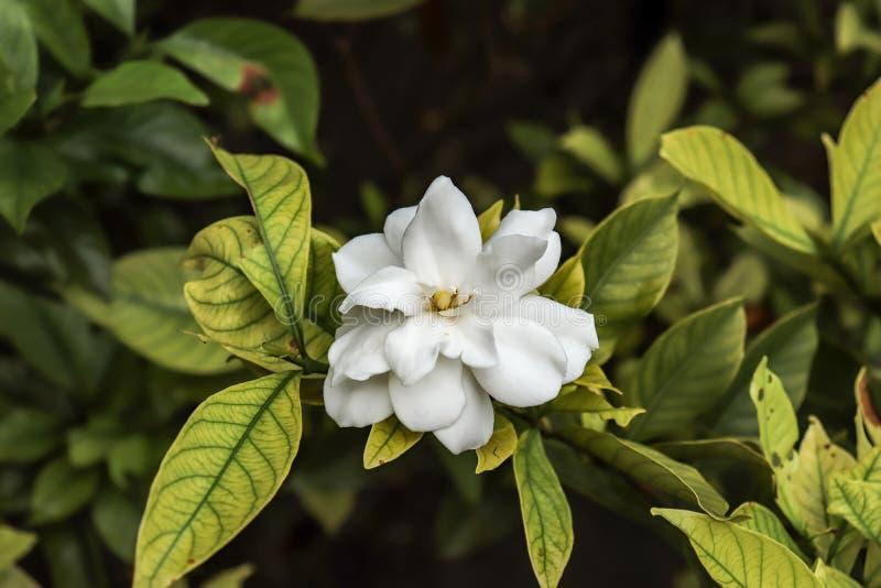 Plate glass flower of gewoonlijk gardenia genoemd, is een bloeiende plant in de familie van koffieplanten royalty-vrije stock foto
