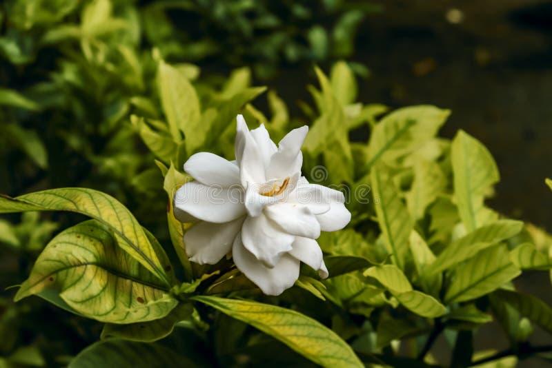 Plate glass flower of gewoonlijk gardenia genoemd, is een bloeiende plant in de familie van koffieplanten royalty-vrije stock fotografie