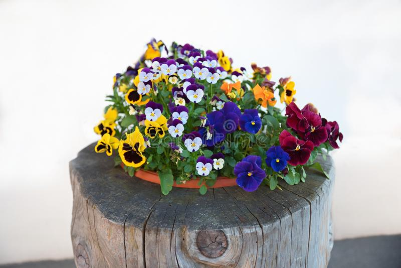 Plate with mixed pansy flowers. On a tree trunk, decoration in front of the house. white background royalty free stock image