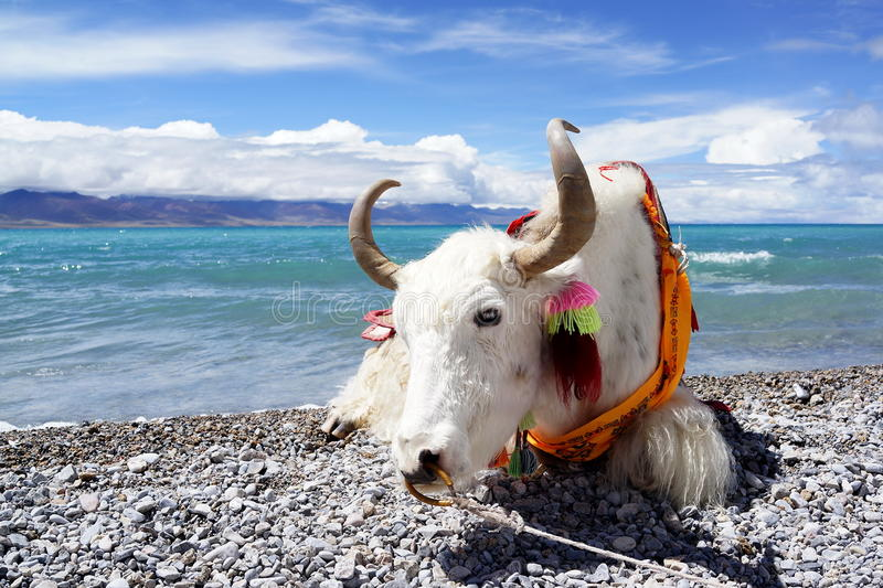Plateau湖和白色牦牛 免版税库存图片