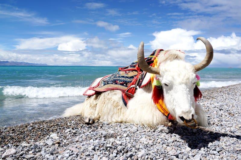 Plateau湖和白色牦牛 库存图片