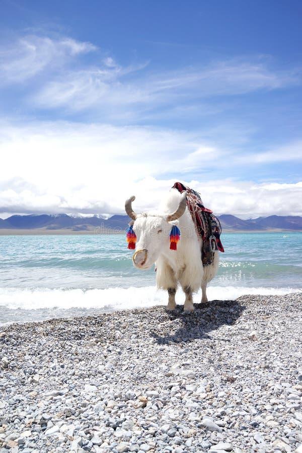 Plateau湖和白色牦牛 图库摄影