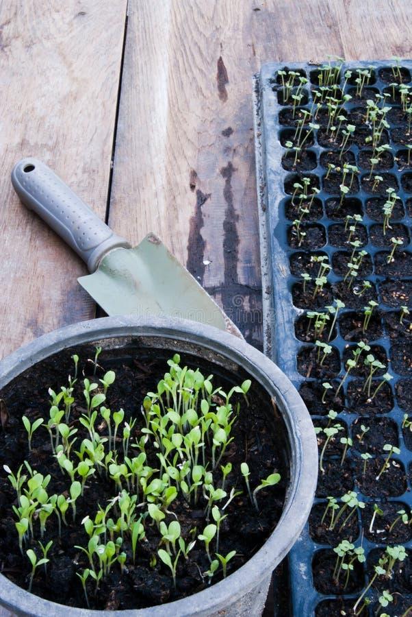 Plateau de germination de germination photo libre de droits