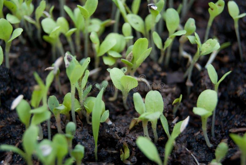 Plateau de germination de germination photographie stock libre de droits