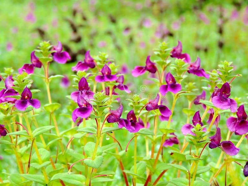 Plateau de Kaas - vallée des fleurs dans le maharashtra, Inde photographie stock libre de droits