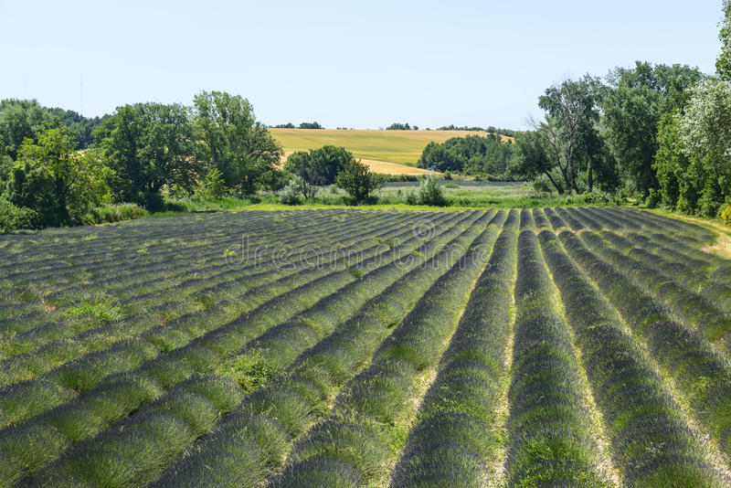 plateau de Valensole (普罗旺斯),淡紫色 免版税库存照片