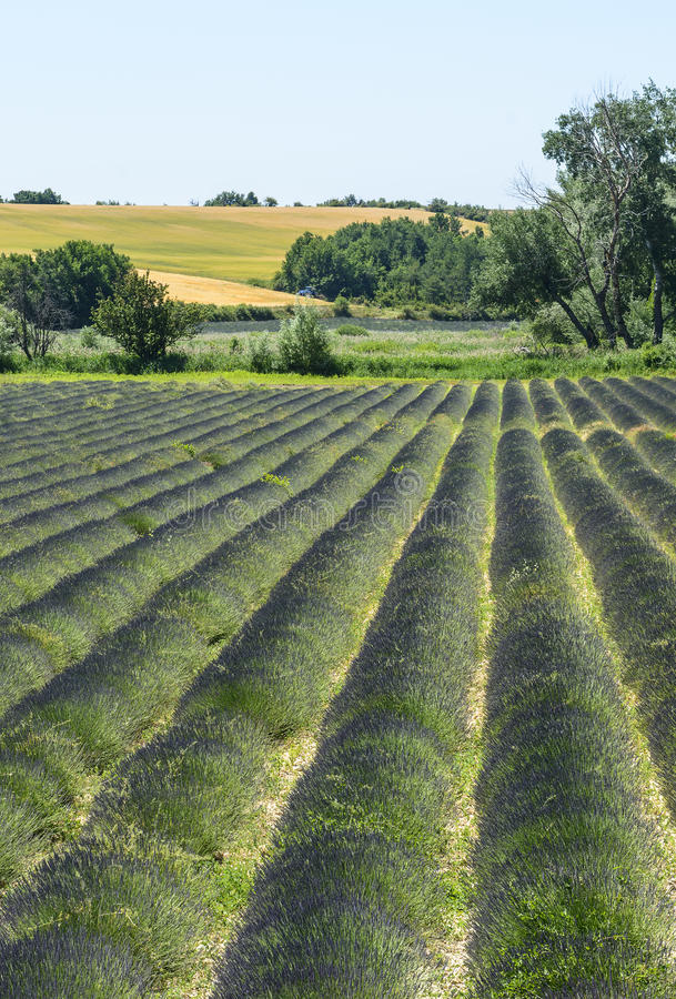Download Plateau De Valensole (Provence), Lavender Stock Image - Image of plant, french: 33200225
