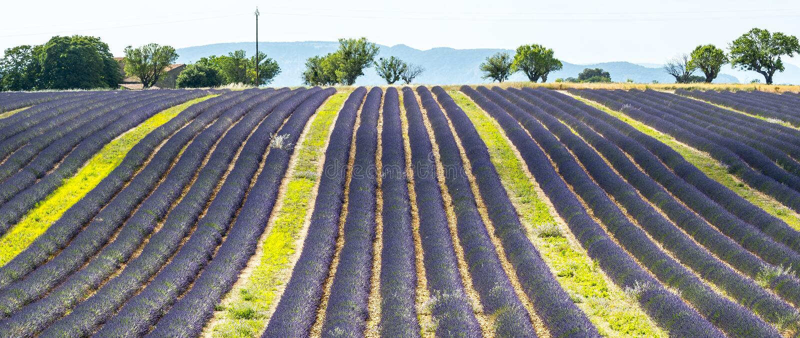 Download Plateau De Valensole (Provence), Lavender Stock Photo - Image: 33550296