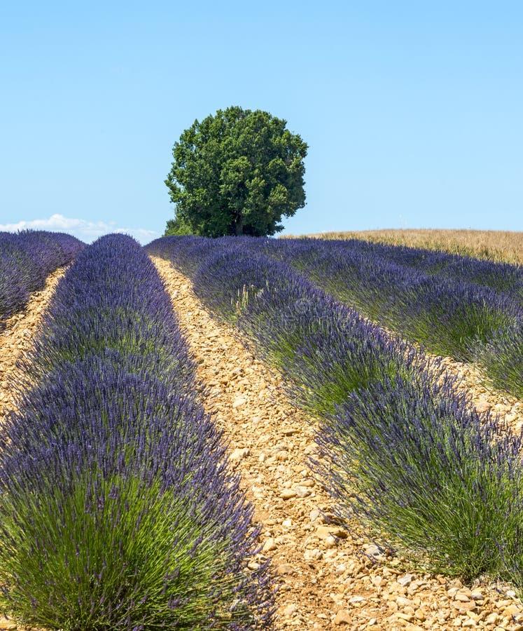 Download Plateau De Valensole (Provence), Lavender Stock Image - Image: 34391777