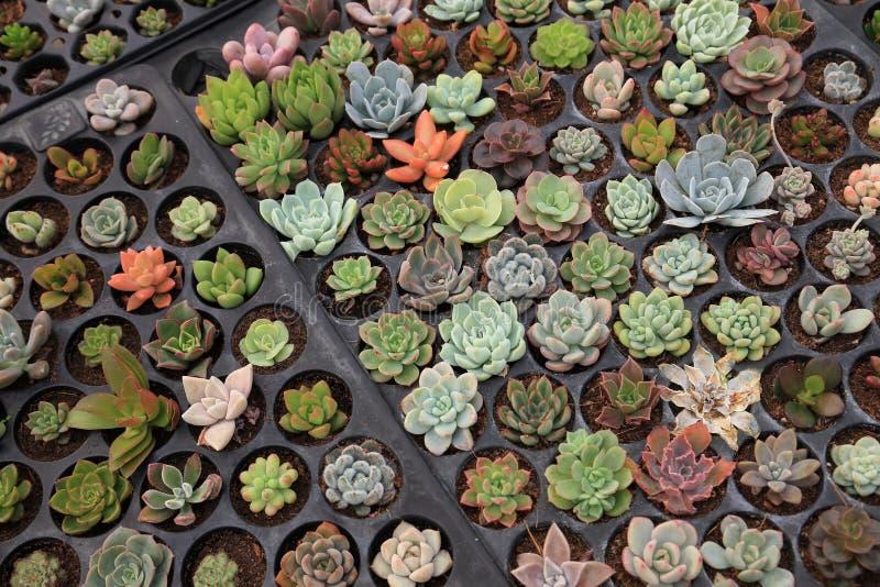 Plateau de variété de propager des succulents par des coupes dans le jardin de serre chaude illustration de vecteur