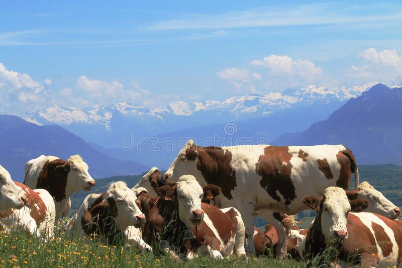 Cattle upon Saleve mountain, France royalty free stock images
