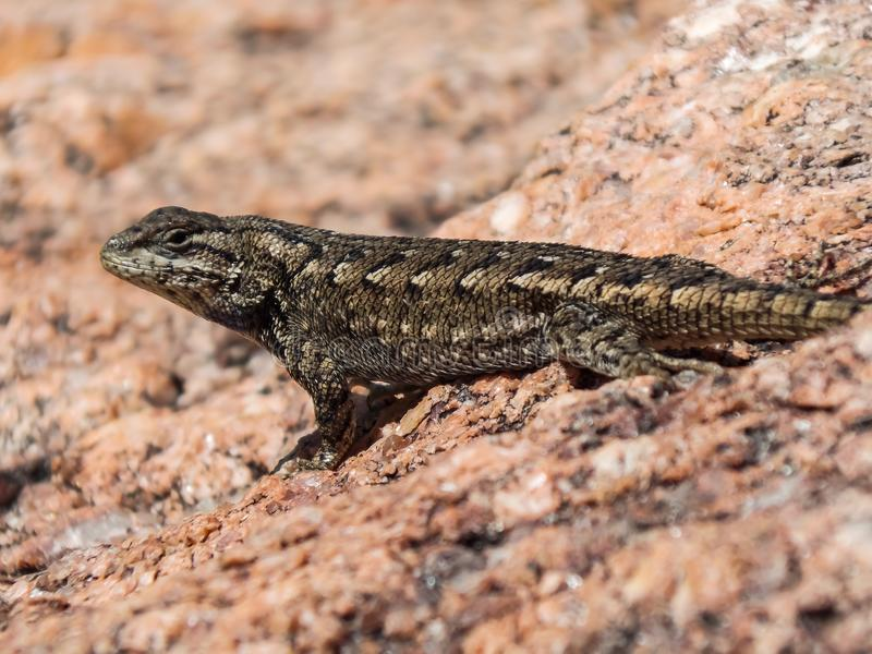 Brave Little Lizard. Plateau Fence Lizard Sceloporus tristichus. Eastern Fence Lizard These insectivorous lizards inhabit cold desert and submontane zones. They royalty free stock photography