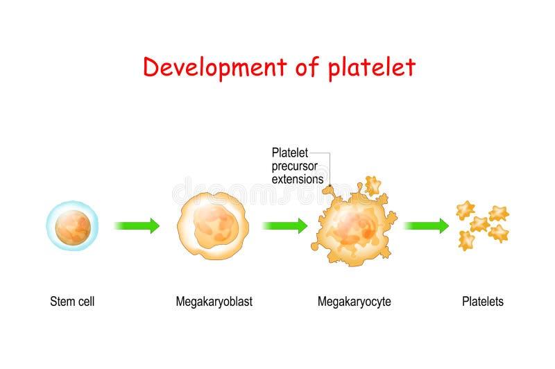 Platelet development. thrombocyte royalty free stock photo