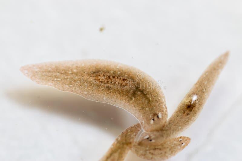 Platelminto del parassita di Planarian nell'ambito della vista del microscopio immagine stock