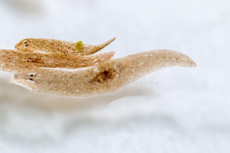 Platelminto del parassita di Planarian nell'ambito della vista del microscopio immagini stock libere da diritti