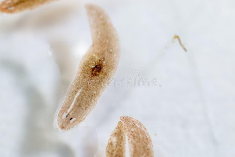 Platelminto del parassita di Planarian nell'ambito della vista del microscopio immagine stock libera da diritti