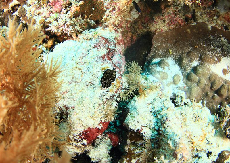 Plathelminthe repérée jaune - nigropapillosum de Thysanozoon images libres de droits