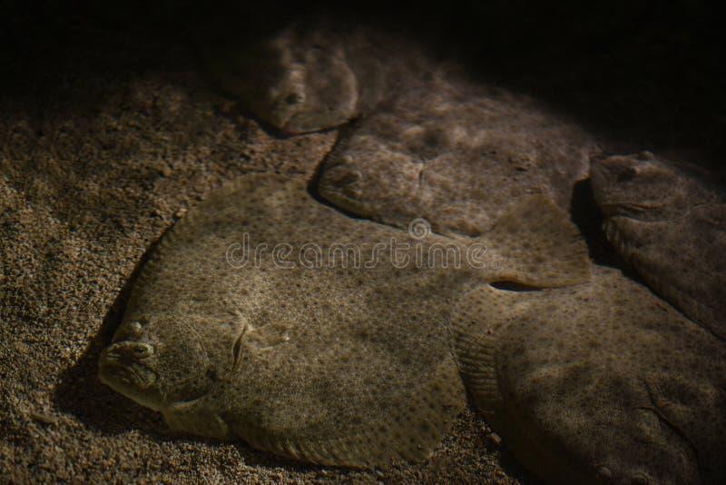 Platija bajo fusiones del agua con la arena Algunos más pescados mienten firmemente juntos imágenes de archivo libres de regalías