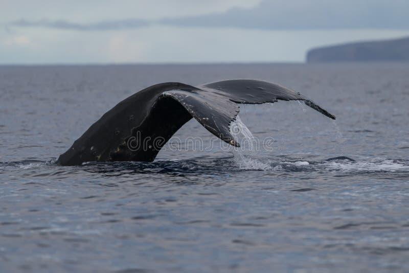 Platija de la cola de la ballena jorobada foto de archivo