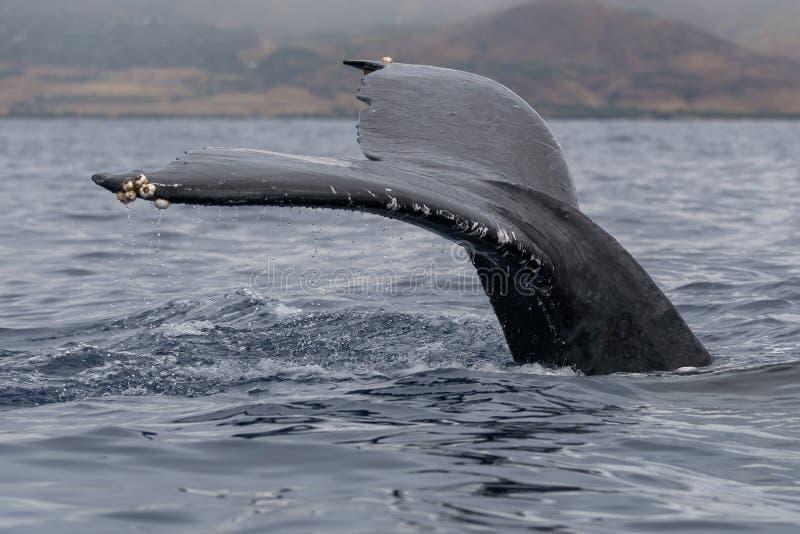 Platija de la cola de la ballena jorobada fotografía de archivo