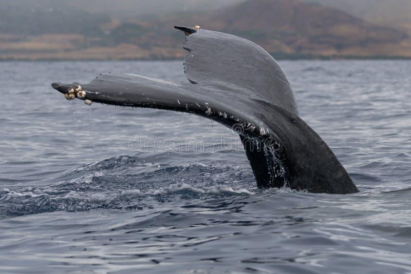 Platija de la cola de la ballena jorobada imagen de archivo