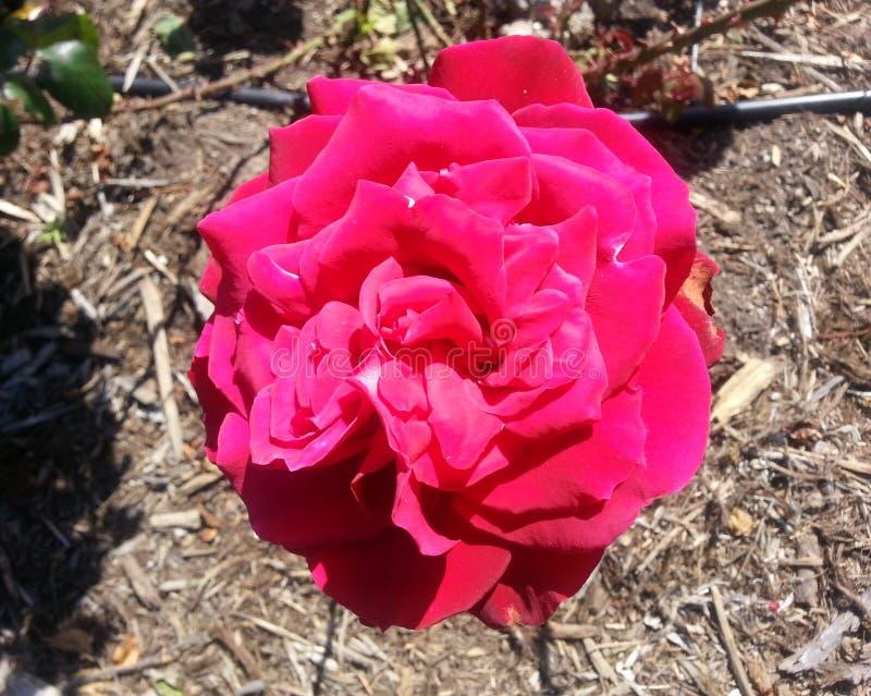 Platina preciosa Rosa foto de stock royalty free