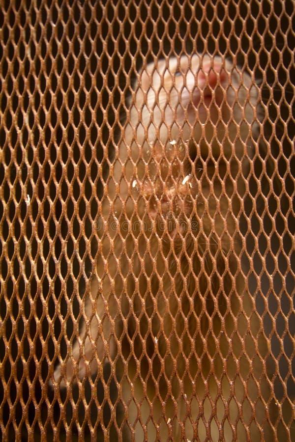Platinamink in cel het fokken van bont-draagt stock foto's