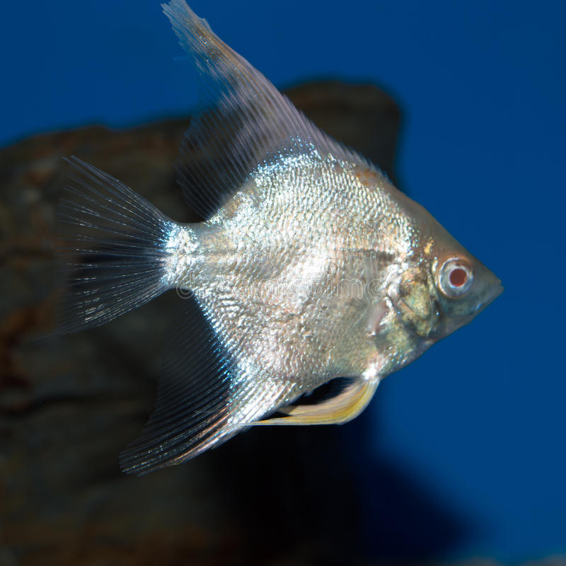Platinum Albino Angelfish royalty free stock photos