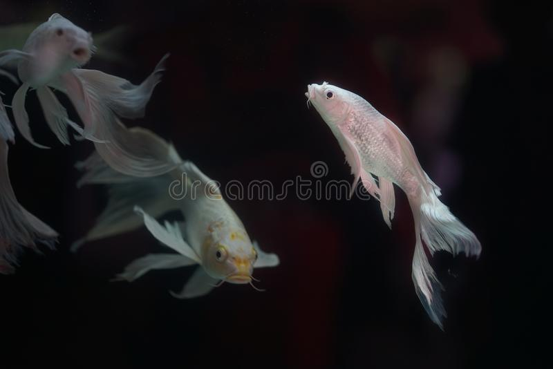 Platinum White Freshwater Angelfish `Pterophyllum scalare` Is the most common species of Pterophyllum kept in aquarium stock photography
