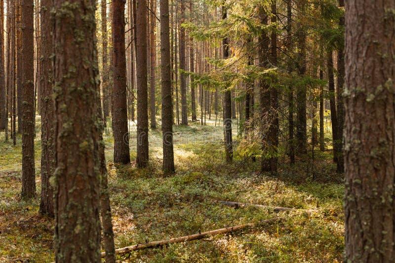 Plats av den härliga solnedgången på sommarpinjeskogen med träd och gräs Landskap royaltyfri foto