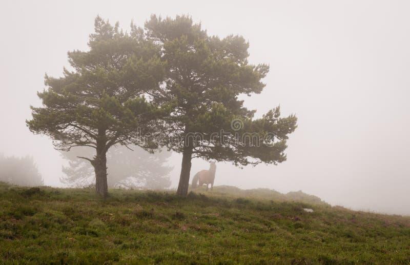 Platsen av sörjer träd i dimma, med en häst fotografering för bildbyråer