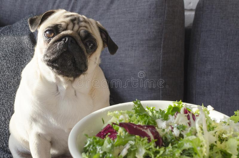 Platta med ny grön sallad, sammanträde för hundavelmops på soffan arkivfoton
