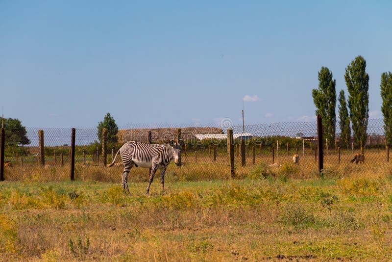 Plattar till sebraEquusquaggaen royaltyfri fotografi