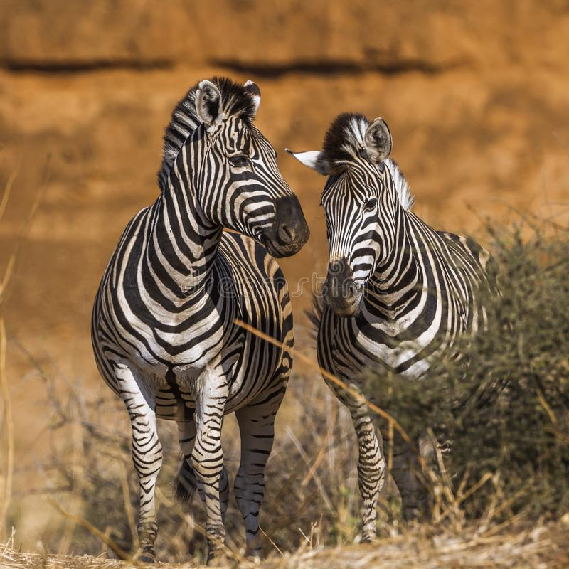 Plattar till sebran i den Kruger nationalparken, Sydafrika arkivbilder