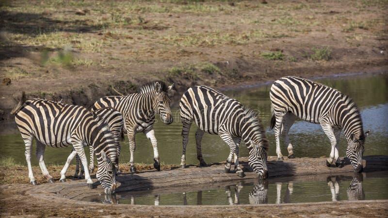 Plattar till sebran i den Kruger nationalparken, Sydafrika royaltyfria foton