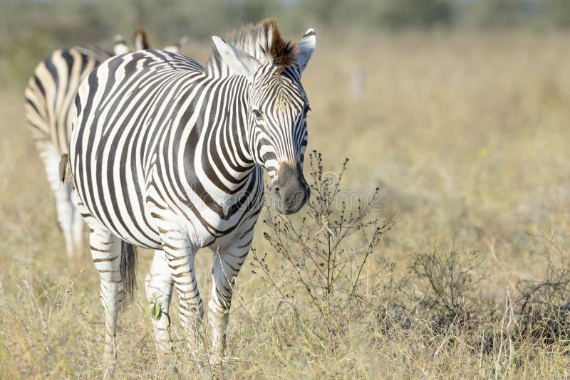 Plattar till sebran som går på savann som ser kameran arkivbilder