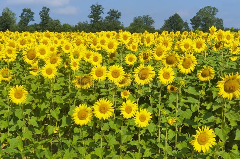 Platteland in Toscanië, zonnebloemen royalty-vrije stock afbeelding