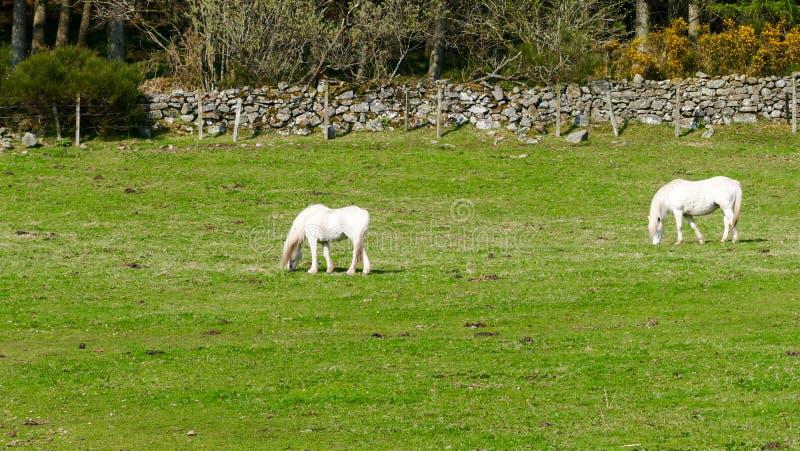 Platteland - Wit paard royalty-vrije stock foto