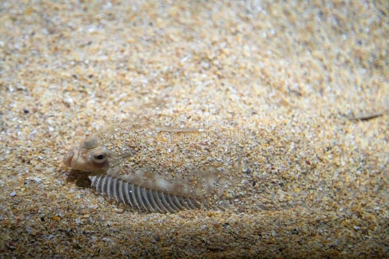Plattfisk - Pleuronectidae Plattfisk som ligger under sand på havsbotten, kamouflage på havsbotten arkivbilder