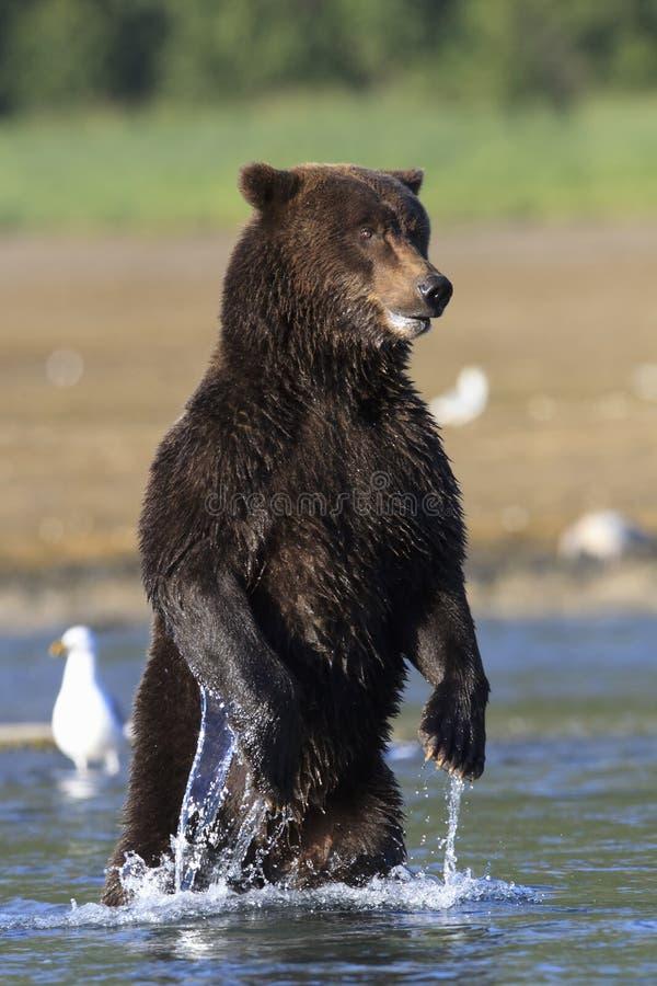 Plattform björn royaltyfri fotografi