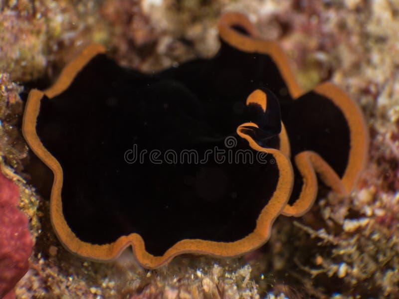 Plattwurm, Pseudobiceros-gloriosus, Raja Ampat, Indonesien stockfoto